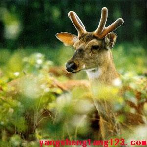 鹿茸的功效与作用及食用方法-鹿茸可以壮阳吗-效果好吗