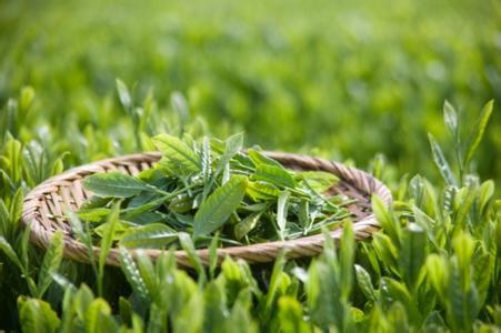 绿茶的功效与作用-喝绿茶的好处和坏处