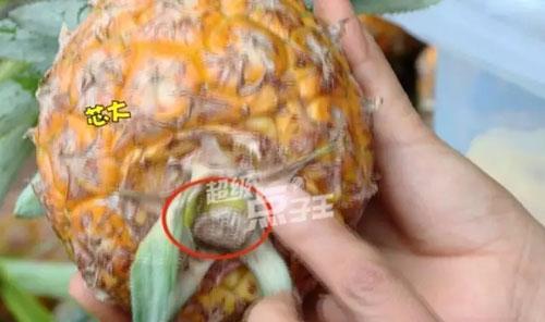 菠萝怎么挑甜的,怎样挑选甜的菠萝,如何挑选广西海南菠萝