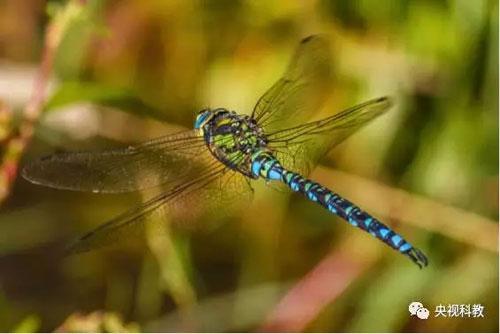 有一种蜻蜓个头特别大,全身青绿色,叫做马大头,俗称绿青哥,一天内能吃